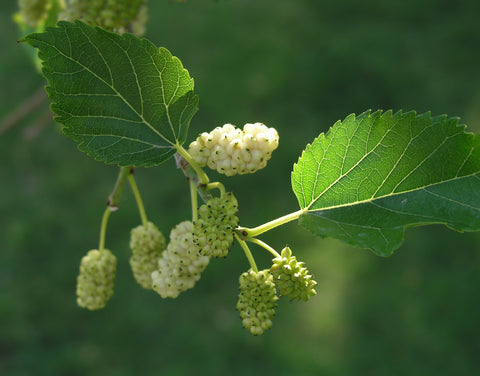 White Mulberry tree, morus alba. Silkworms feed on Mulberry tree leaves