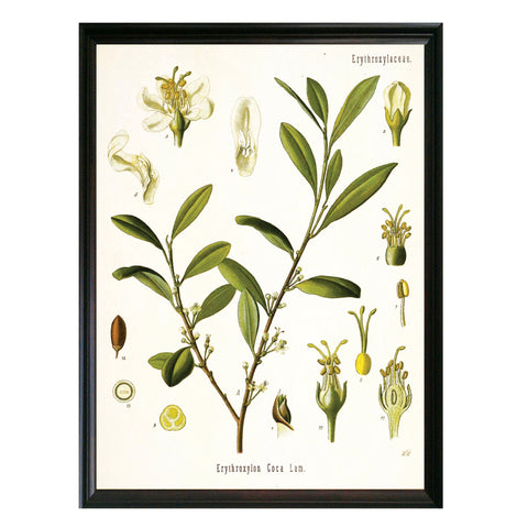 Coca Botanical Illustration