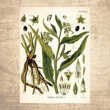 Comfrey Botanical Illustration