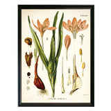 Crocus Botanical Illustration