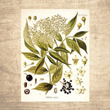 Eldberberry Botanical Illustration