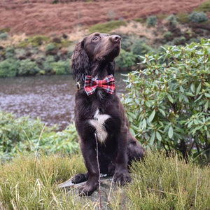 Cocker Spaniel wearing Tartan Dog Bow Tie Red