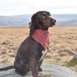 Cocker Spaniel wearing Tartan Dog Bow Tie Orange