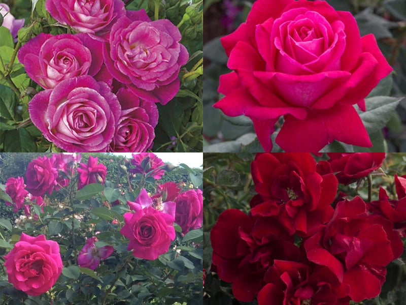 2021 American Gardens Rose Selections for the Northeast