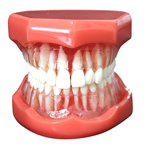 Ocean Aquarius Dental Study Teaching Model Standard Model Removable Teeth Soft Gum ADULT TYPODO