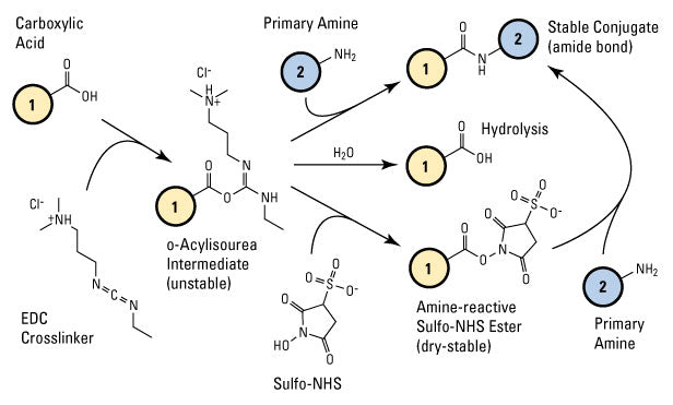 Sulfo-NHS plus EDC (carbodiimide) crosslinking reaction scheme Thermo Fisher