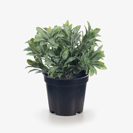 Jade Bush In Pot - Grey/Green