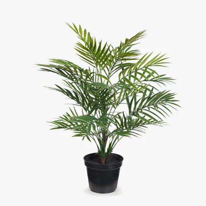 Palm Parlour In Pot - 41cm