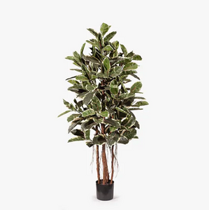 Rubber Tree - Variegated
