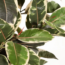 Load image into Gallery viewer, Rubber Tree - Variegated