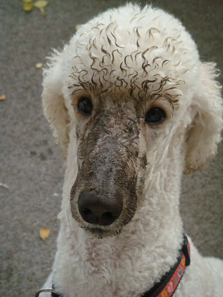 A Poodle Mud Mask Facial