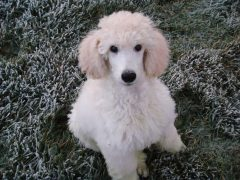standard white poodle puppy