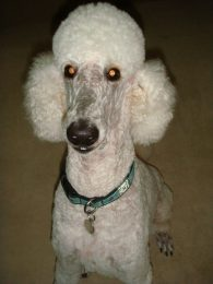 Phew!  Clean poodle, even happier now that the suit caseshave been put away.