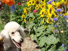 poodles in Sonoma County