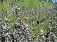 bees on lavender with asparagus in background