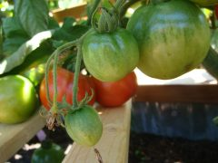 support growing tomatoes