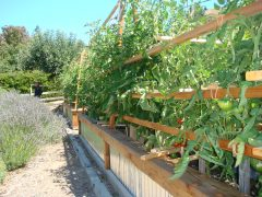 Tomato bed and support trellis california