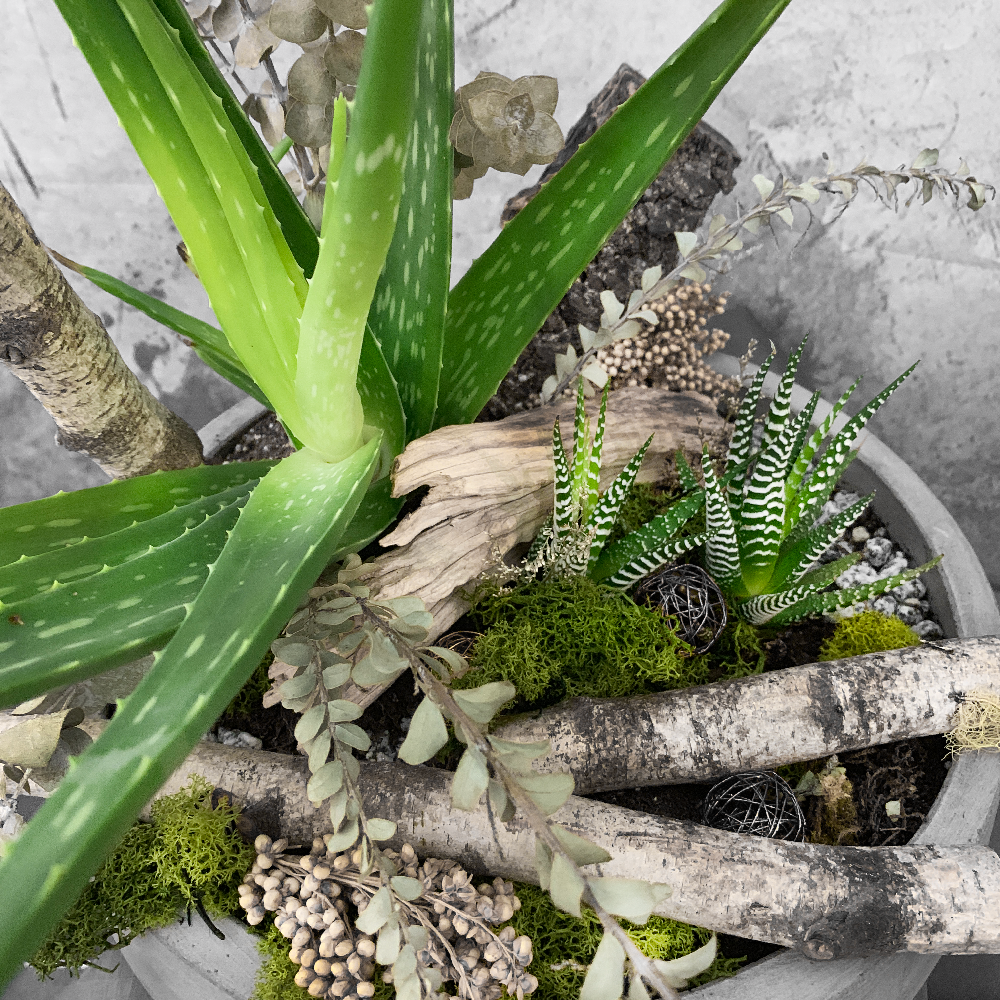 ALOE VERA AND SUCCULENT ARRANGEMENT IN A CEMENT BOWL