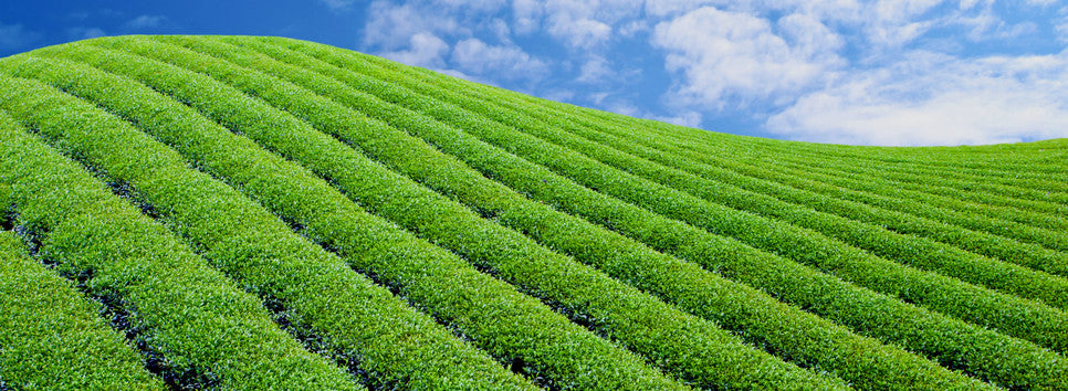 Green Terrace Teas Homepage Image 1