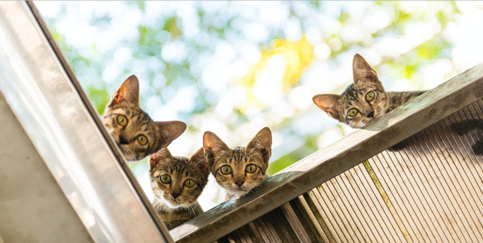 Copycat! The Controversy Around Cloning Cats