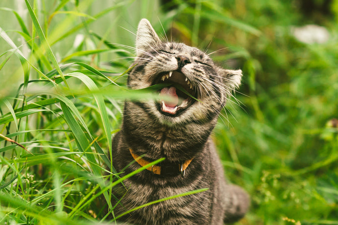 Why Do Cats Eat Grass? The Mystery of the Lawn Meowers
