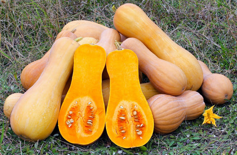 Butternut Squash in Field