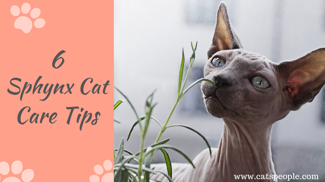 6 Sphynx Cat Care Tips
