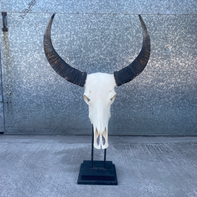 MOUNTED ANTIQUE AFRICAN WATER BUFFALO SKULL & HORNS (H37CM | W8CM)