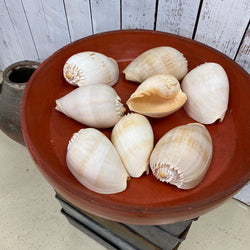 VINTAGE INDIAN OCEAN CONCH SHELLS