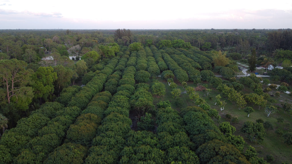 field of lychee trees from drone view