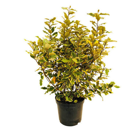 Elaeagnus Drift Fruitlandii Plant 1Gallon Live Plant Full Mature Plant Outdo