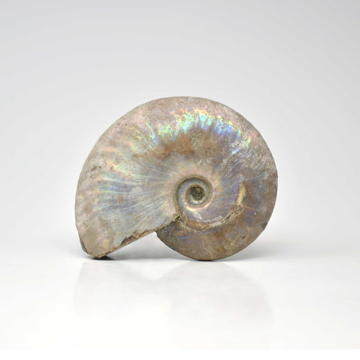 Ammonite with Blue Opalization  AMMBOP018