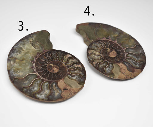 Ammonite Cut Greater Than 7cm AMMCG7014-2 - Madagascar Import SEAM Inc.