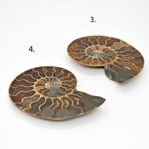 Ammonite Cut Greater Than 7cm AMMCG7007-2