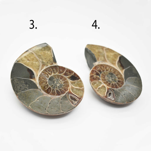 Ammonite Cut Greater Than 7cm AMMCG7010-2