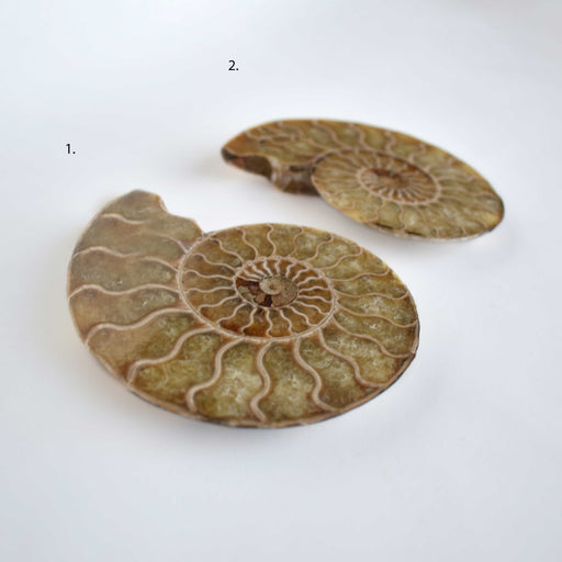 Ammonite Cut Greater Than 7cm AMMCG7014 - Madagascar Import SEAM Inc.