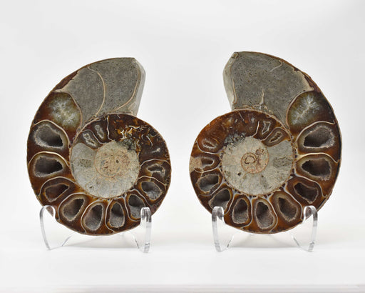 Ammonite Cut Greater Than 7cm AMMCG7016