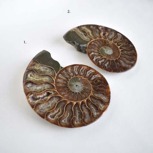 Ammonite Cut Greater Than 7cm AMMCG7018 - Madagascar Import SEAM Inc.