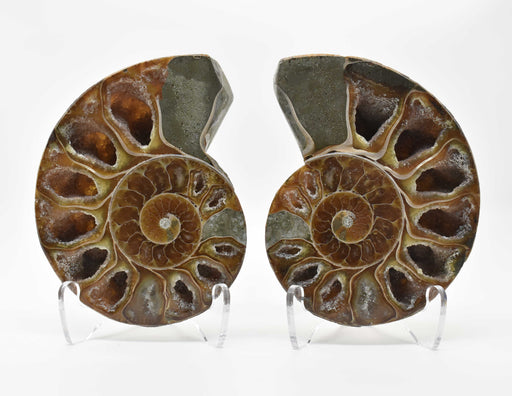 Ammonite Cut Greater Than 7cm AMMCG7020-3