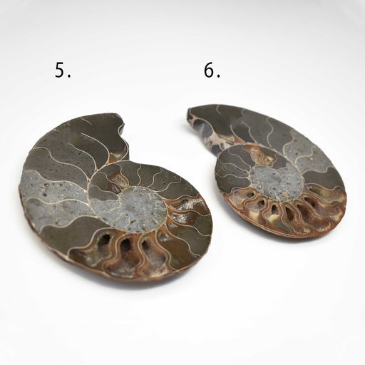 Ammonite Cut Greater Than 7cm AMMCG7020-1 - Madagascar Import SEAM Inc.