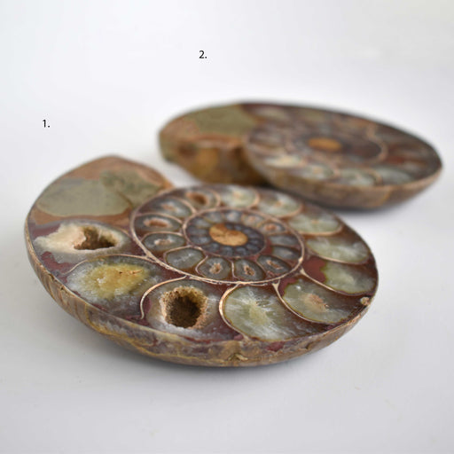 Ammonite Cut Greater Than 7cm AMMCG7026 - Madagascar Import SEAM Inc.