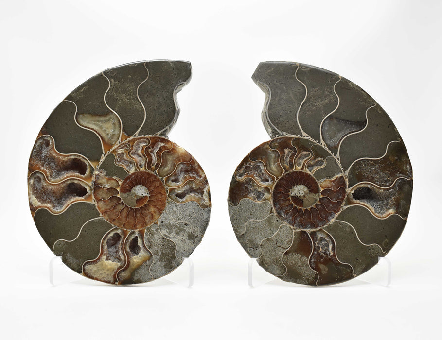 Ammonite Cut Greater Than 7cm AMMCG7028