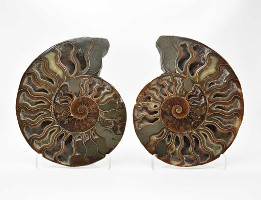 Ammonite Cut Greater Than 7cm AMMCG7034-1