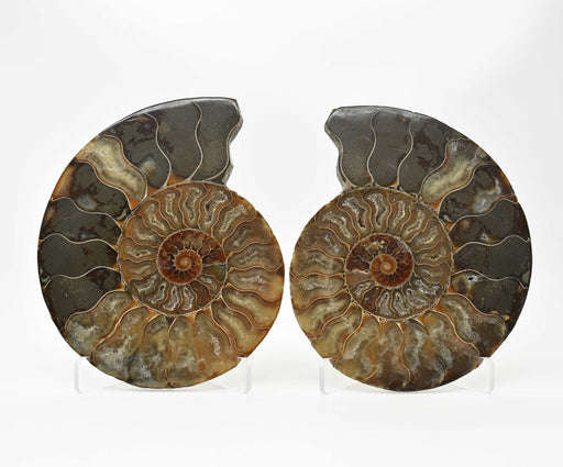 Ammonite Cut Greater Than 7cm AMMCG7034