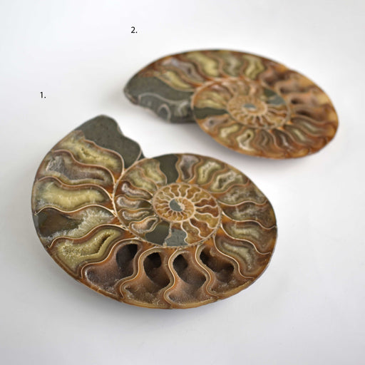 Ammonite Cut Greater Than 7cm AMMCG7042 - Madagascar Import SEAM Inc.