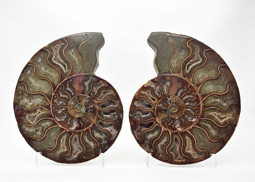 Ammonite Cut Greater Than 7cm AMMCG7048-1