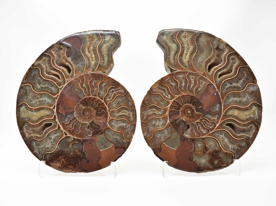 Ammonite Cut Greater Than 7cm AMMCG7048
