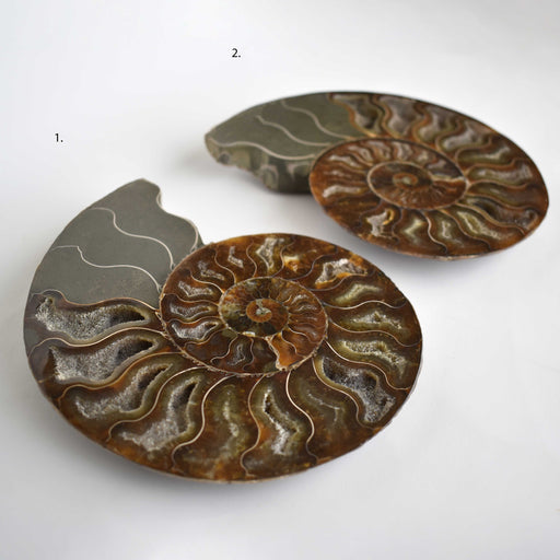 Ammonite Cut Greater Than 7cm AMMCG7054 - Madagascar Import SEAM Inc.