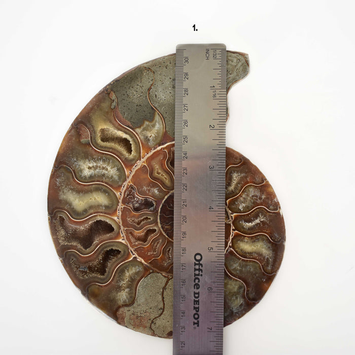 Ammonite Cut Greater Than 7cm AMMCG7074 - Madagascar Import SEAM Inc.