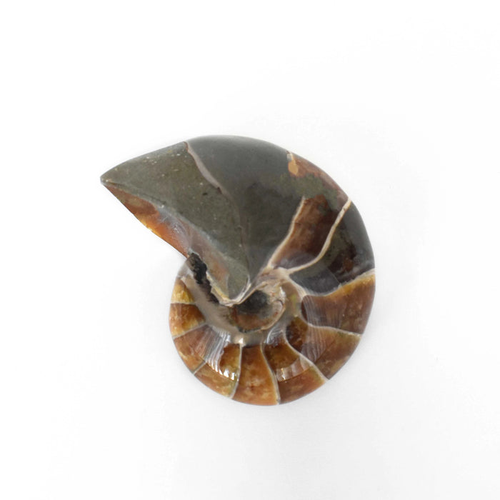 Ammonite Nautilus Polished AMMNAU014 - Madagascar Import SEAM Inc.
